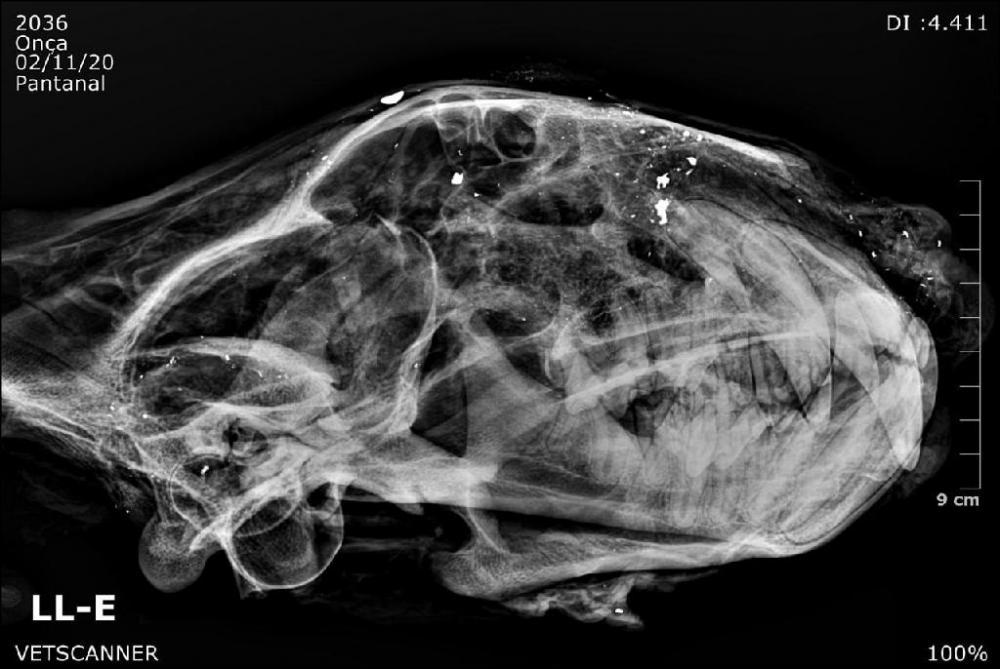 Imagem radiológica mostra bala estilhaçada em crânio de onça-pintada - Foto por: VetScanner